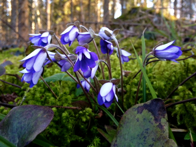 Kevään merkkejä ja päivän metsäjuoksu